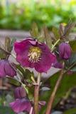 A flor do hybridus, do Natal ou de quaresmal do helleborus aumentou, macro, foco seletivo, DOF raso foto de stock royalty free