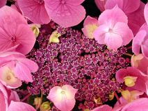 Flor do Hydrangea Fotos de Stock Royalty Free