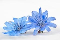 Flor do intybus do Cichorium da chicória Imagens de Stock Royalty Free