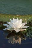 flor do irupe Imagem de Stock