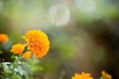 flor do jamanthi Imagens de Stock