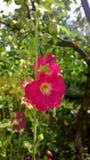 Flor do jardim Foto de Stock Royalty Free