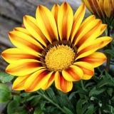 Flor do jardim Imagens de Stock Royalty Free