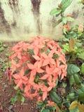 Flor do jardim Imagem de Stock