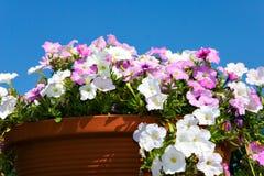 Flor do jardim no potenciômetro fotografia de stock royalty free