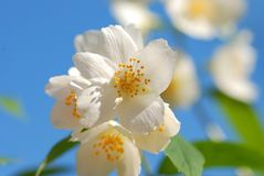 Flor do jasmim Imagens de Stock Royalty Free