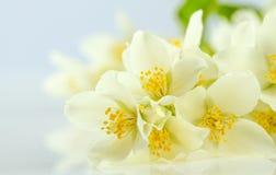 Flor do jasmim imagem de stock