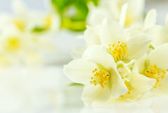 Flor do jasmim Fotos de Stock Royalty Free