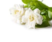 Flor do jasmim Foto de Stock