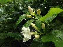 Flor 2 do jasmim de 3 Imagem de Stock Royalty Free