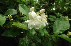 Flor 3 do jasmim de 3 Fotografia de Stock Royalty Free