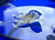 Flor do jasmim do flutuador fotografia de stock