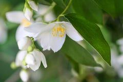 Flor do jasmim, foco seletivo foto de stock