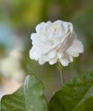 Flor do jasmim (para o dia da mãe de Tailândia) Fotos de Stock Royalty Free