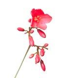 Flor do Jatropha Imagem de Stock Royalty Free