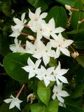 flor do karonda Imagem de Stock