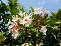 flor do karonda Imagens de Stock