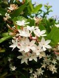 flor do karonda Foto de Stock