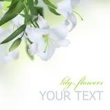 Flor do lírio Fotos de Stock Royalty Free