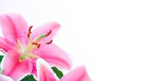 Flor do lírio Fotografia de Stock Royalty Free