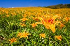Flor do lírio Imagem de Stock