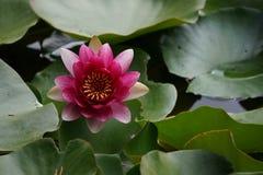 A flor do lírio Imagem de Stock Royalty Free