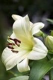 Flor do lírio da árvore, nome comum - caso do jardim Foto de Stock Royalty Free