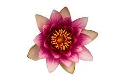 Flor do lírio de água Foto de Stock