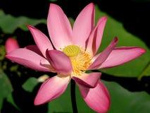 Flor do lírio de água Fotos de Stock
