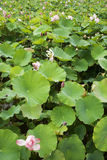 Flor do lírio de água fotografia de stock