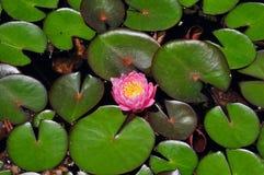 Flor do lírio de água cor-de-rosa e amarela e almofadas de lírio verdes Fotos de Stock