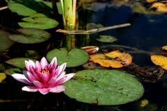 Flor do lírio de água de Rosa Fotografia de Stock Royalty Free