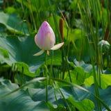 Flor do lírio de água do rosa de Twain (lótus) Imagem de Stock