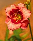 Flor do lírio de dia Imagem de Stock