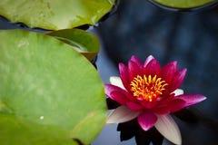 Flor do lírio de Flover Foto de Stock