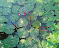 Flor do lírio de Lotus ou de água Fotografia de Stock