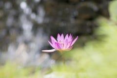 Flor do lírio em águas do lago fotos de stock royalty free