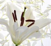 Flor do lírio isolada no branco imagens de stock royalty free