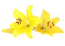 Flor do lírio no branco Imagens de Stock Royalty Free