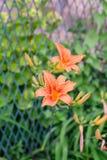 Flor do lírio no jardim Fotos de Stock Royalty Free