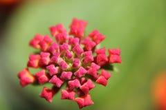 Flor do Lantana Fotografia de Stock Royalty Free