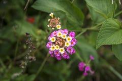 Flor do Lantana Imagens de Stock
