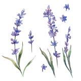 Flor do lavander do Wildflower em um estilo da aquarela isolada ilustração do vetor