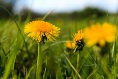 flor do leão contra a grama verde Fotografia de Stock