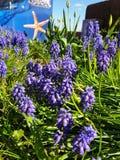 Flor do lila de Hyazinth fotos de stock