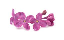 Flor do Lilac isolada imagem de stock royalty free