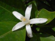 Flor do limão Foto de Stock