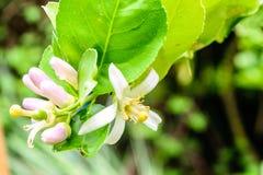 Flor do limão na árvore Fotografia de Stock Royalty Free