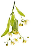 Flor do Linden Imagens de Stock Royalty Free