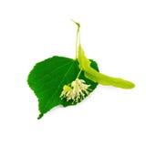 Flor do Linden com folha Fotografia de Stock